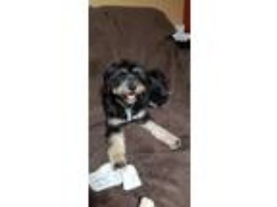 Adopt JoJo a Bearded Collie