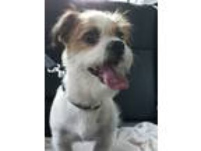 Adopt Bailey a Brown/Chocolate - with White Pekingese / Parson Russell Terrier /