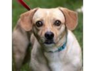 Adopt Milo a Terrier (Unknown Type, Medium) / Mixed dog in Silverdale