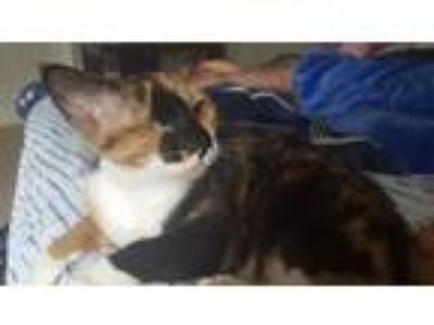 Adopt Callie a Calico or Dilute Calico Calico / Mixed (short coat) cat in