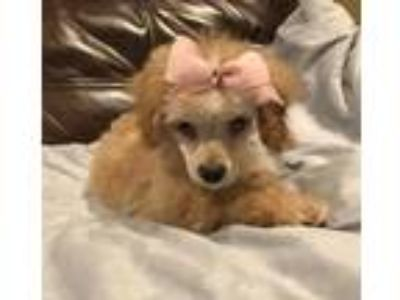 Adopt KONA a Red/Golden/Orange/Chestnut Poodle (Toy or Tea Cup) / Mixed dog in