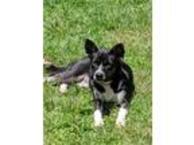 Adopt Luna a Black - with White Labrador Retriever / Shar Pei dog in Birmingham