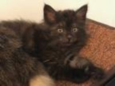 Adopt Poe a All Black Domestic Longhair / Mixed cat in Washington, DC (25885753)