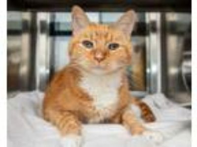 Adopt Keno a Orange or Red Domestic Shorthair / Domestic Shorthair / Mixed cat