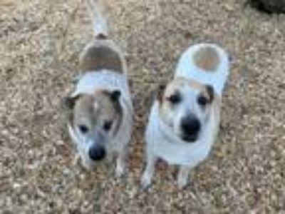 Adopt Charlotte a Australian Cattle Dog / Blue Heeler, Shepherd