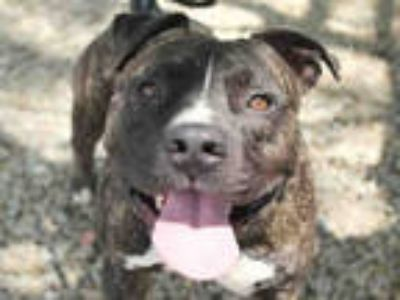 Adopt COSMO a Brindle American Pit Bull Terrier / Mixed dog in Mesa