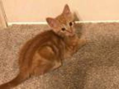 Adopt Edith a Orange or Red Domestic Shorthair / Domestic Shorthair / Mixed cat