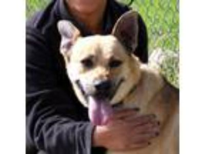 Adopt Dolly a German Shepherd Dog