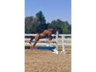 Beautiful Flashy ZangersheideSelle Fracais Chestnut Mare for Sale