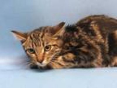 Adopt Alicia a Brown or Chocolate Domestic Shorthair / Mixed cat in Golden