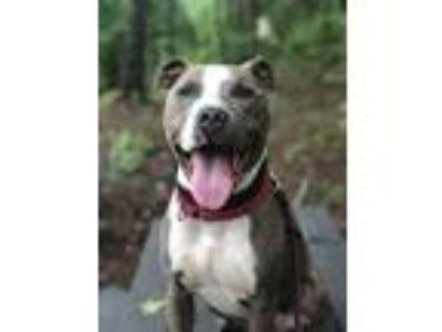 Adopt Cole a American Staffordshire Terrier
