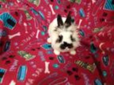 Adopt Anne a White Lionhead / Mixed rabbit in Idaho Falls, ID (25297390)
