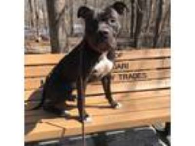 Adopt Midas a Pit Bull Terrier, American Staffordshire Terrier