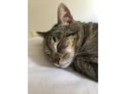 Adopt O Malley a Brown Tabby Domestic Shorthair cat in Minneapolis