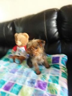 Yorkshire Terrier PUPPY FOR SALE ADN-96341 - Male Yorkie