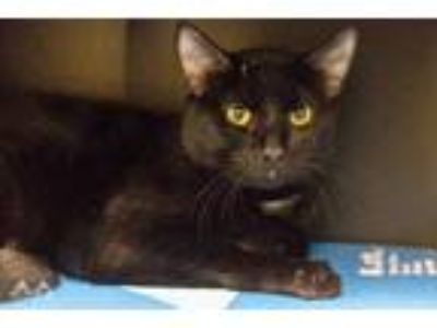 Adopt Houdini a All Black Domestic Shorthair / Domestic Shorthair / Mixed cat in
