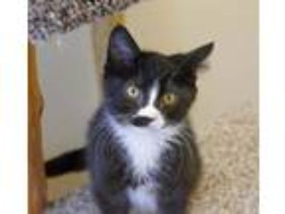 Adopt Joshua a Domestic Short Hair