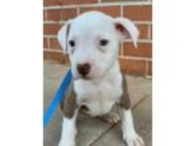 Adopt Damita a Gray/Silver/Salt & Pepper - with White American Pit Bull Terrier