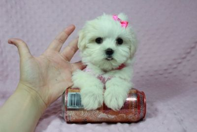Teacup Maltese Puppies in Las Vegas!