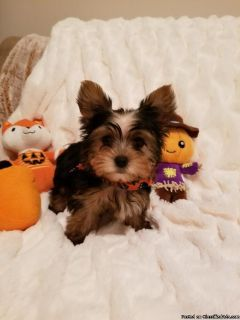 Gorgoeous Male Yorkie Puppies, Yorkshire Terrier