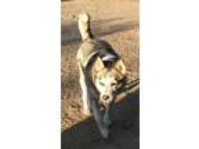 Adopt Sparkles a Siberian Husky