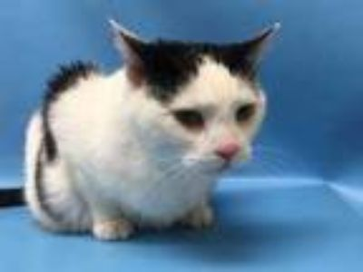 Adopt Bing a White Domestic Shorthair / Mixed (short coat) cat in Golden Valley