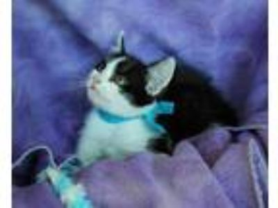 Adopt Lester a Domestic Short Hair