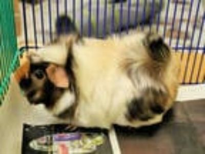 Adopt FLUFFY a Brown or Chocolate Guinea Pig / Mixed small animal in San