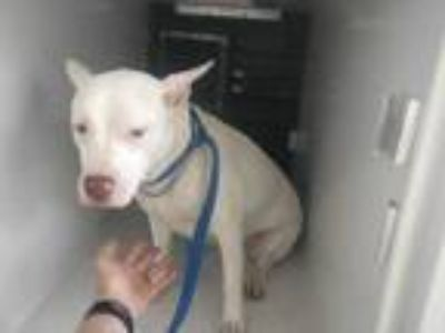 Adopt a White American Pit Bull Terrier / Mixed dog in Houston, TX (25279101)