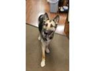 Adopt Lorelei a German Shepherd Dog
