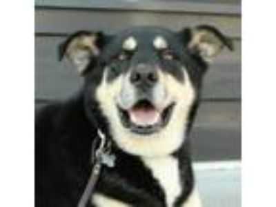 Adopt Roscoe a Gray/Silver/Salt & Pepper - with Black Shepherd (Unknown Type) /