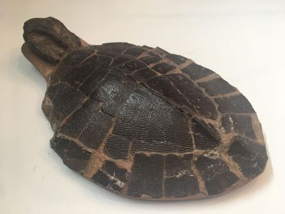 Fossil Turtle Shell - Anosteira Maomingensis