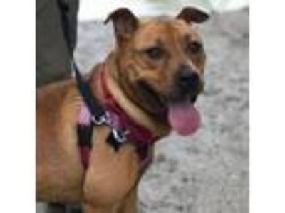 Adopt Jacob a Brown/Chocolate Pit Bull Terrier dog in Asheville, NC (25531877)