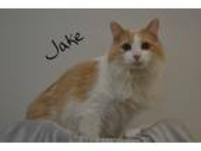 Adopt Jake a White (Mostly) Domestic Longhair (long coat) cat in Lebanon
