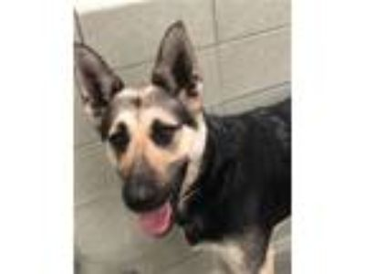 Adopt Nasha a German Shepherd Dog / Mixed dog in Novato, CA (25335304)