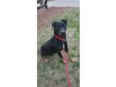 Adopt Sarge a Black - with Brown, Red, Golden, Orange or Chestnut Rottweiler /