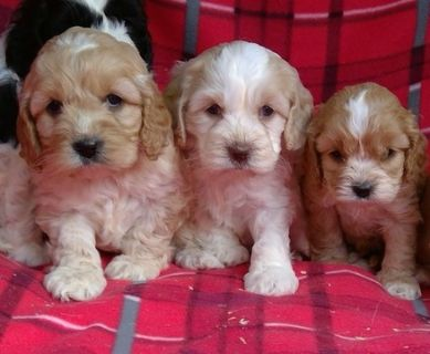 Poodle (Toy)-Cavalier King Charles Spaniel Mix PUPPY FOR SALE ADN-76286 - cavapoo puppies males and females available