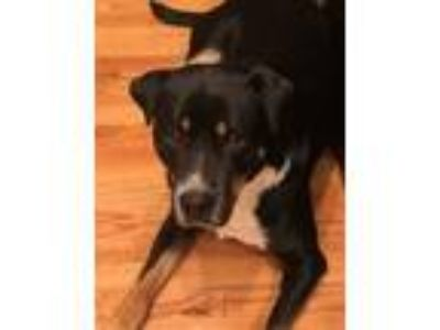 Adopt Russell a Black - with White Border Collie / Boxer dog in Tolland