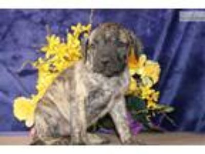 Sandy JS Healthy Brindle AKC Presa Canario Puppy