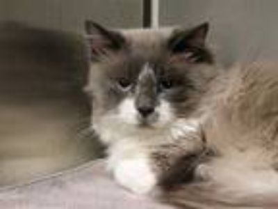 Adopt FLASH a White (Mostly) Siamese / Mixed (short coat) cat in Maryland