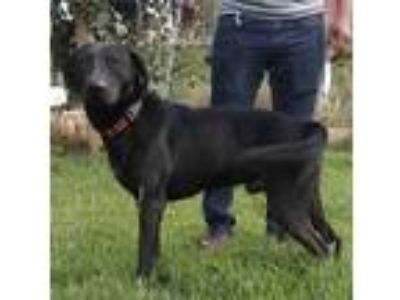 Adopt Thomas a Black Labrador Retriever / Mixed dog in escondido, CA (19097396)