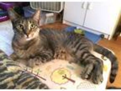 Adopt Daphne a Tan or Fawn Tabby Domestic Shorthair (short coat) cat in Newtown