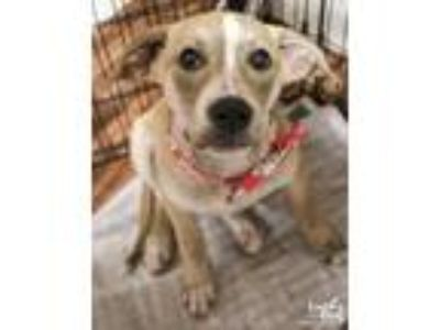 Adopt Tay a Tan/Yellow/Fawn - with White Labrador Retriever / Mixed dog in