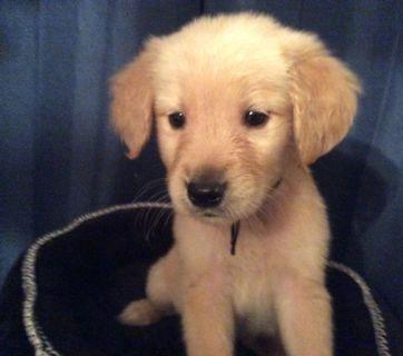 Golden Retriever PUPPY FOR SALE ADN-101875 - Pure Bred AKC Golden Retrievers Puppies