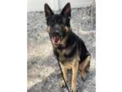Adopt Zeus a Black German Shepherd Dog / Mixed dog in Clearwater, FL (25371162)
