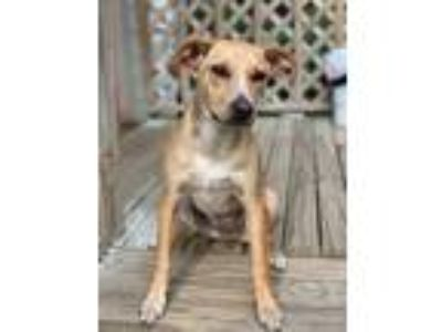 Adopt Kona a Jack Russell Terrier, Cattle Dog