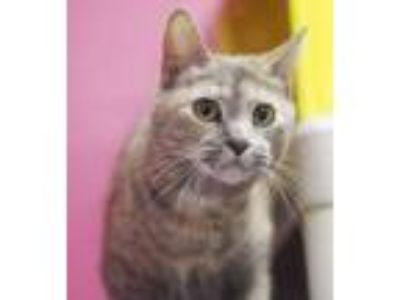 Adopt Pearl a Domestic Short Hair