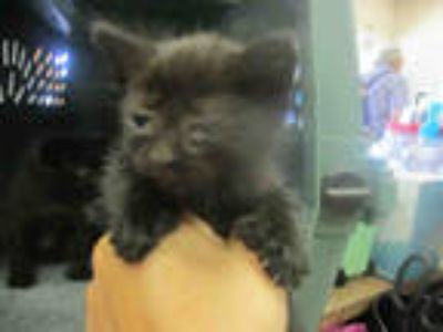 Adopt TOES a All Black Domestic Shorthair / Mixed (short coat) cat in Ocala