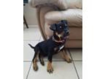 Adopt Odin, the cutest & sweetest puppy! a Rottweiler