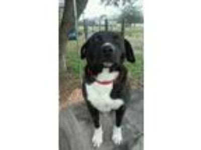 Adopt Henni a Black Labrador Retriever / Mixed dog in Crowley, LA (21391020)
